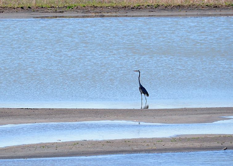 Great blue heron in Baker Wetlands